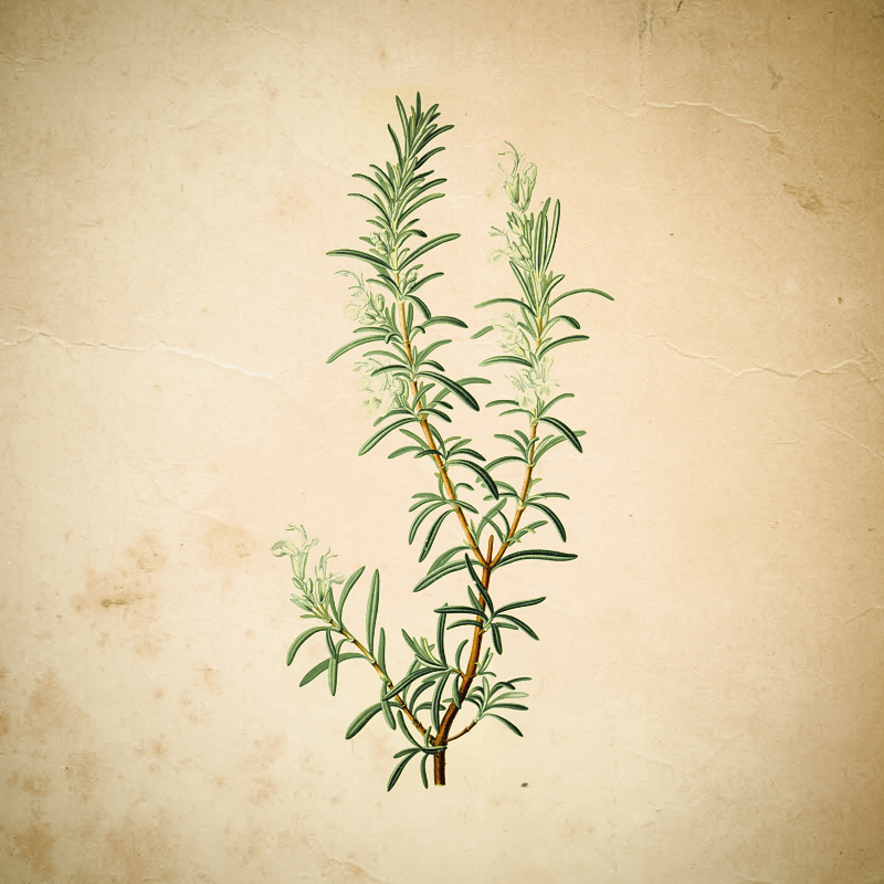 Rosmarin Botanical
