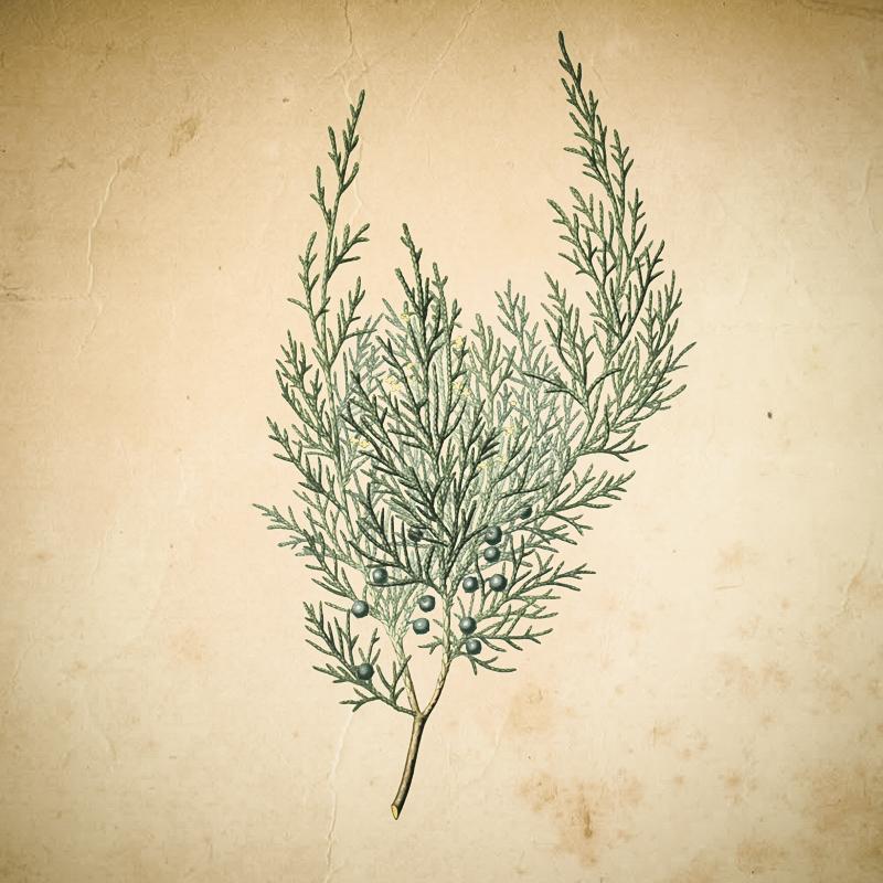 Wacholder Botanical